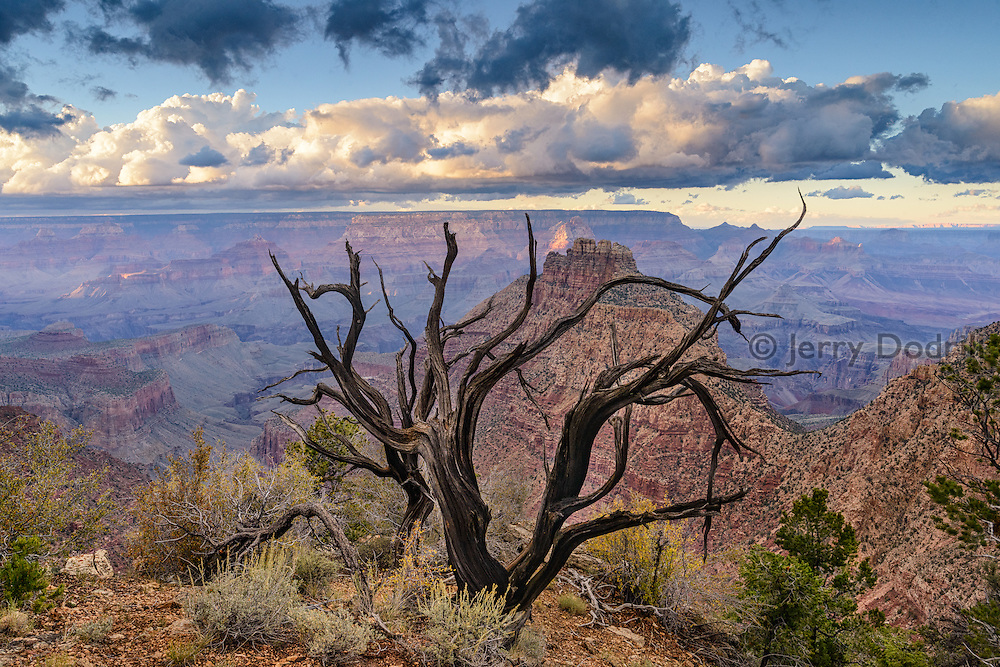 A juniper snag above the Colorado River along the South Rim of Grand Canyon National Park, Arizona
