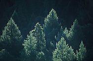 Sunlight on pine forest along the North Fork of the Consumes River, El Dorado County, California