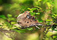 A Bird, The Mourning Dove Cleaning Itself, Zenaida macroura, Posing Nicely