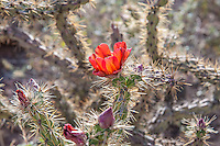 Common in southeastern Arizona, Baja California and Sonora in Mexico, parts of Southern California, as well as select locations in Utah and Nevada, the buckhorn cholla gets its name from its similarity in appearance to deer antlers. Flowers are quite variable in color - ranging from lemon yellow, fiery orange to a deep scarlet, and are followed later in the season by smooth, plump, mostly spineless, green, purplish, or reddish edible fruits. Like many other cactus species in the Southwest, the mature fruits of the buckhorn cholla drop off long before it blooms during the next season, therefore you will never see one with both fruits and flowers at the same time. This one with bright red flowers was found and photographed in Southern Arizona's Diablo Mountains near the Mexican border.