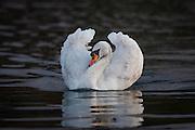 Mute Swan swimming in the sea | Knoppsvane svømmer i sjøen