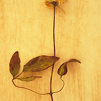 Dried Clematis stem
