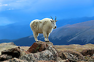 Mountain goat standing on a rock in the Mount Evans Wilderness in Colorado