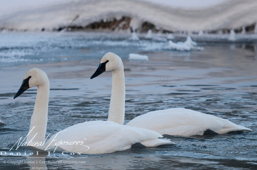Trumpeter Swans on the Madison River in Yellowstone National Park. Wyoming