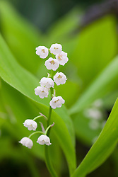 Convallaria majalis 'Gold Leaf'. Lily of the valley