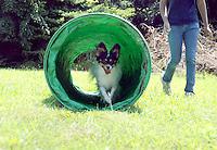 A Papillion show dog runs through a tunnel while practicing agility sabina louise pierce