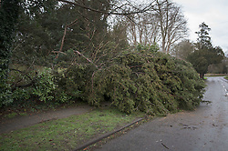 © Licensed to London News Pictures. 28/03/2016. Leatherhead, UK. A fallen tree blocks the pavement as storm Katie hits the south east. Photo credit: Peter Macdiarmid/LNP