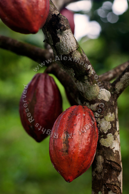 One of the cocoa varieties that are growing in Claudio Corallo's plantation on the island of Principe, Sao Tome and Principe, (STP) a former Portuguese colony in the Gulf of Guinea, West Africa.