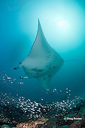 reef manta ray, Manta alfredi (formerly Manta birostris ), swims over patch reef with schooling fish, Hanifaru Bay entrance, Hanifaru Lagoon, Baa Atoll, Maldives ( Indian Ocean )