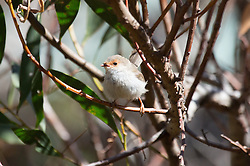 A female Superb Fairy Wren near Denison Beach, Bicheno, Tasmania.