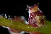 The female flowers of the pedunculate oak (Quercus robur) are pollinated by the wind-blown pollens. Kiel, Germany Die weiblichen Blüten der Stieleiche (Quercus robur) werden durch die vom Wind verwehten Pollen bestäubt.