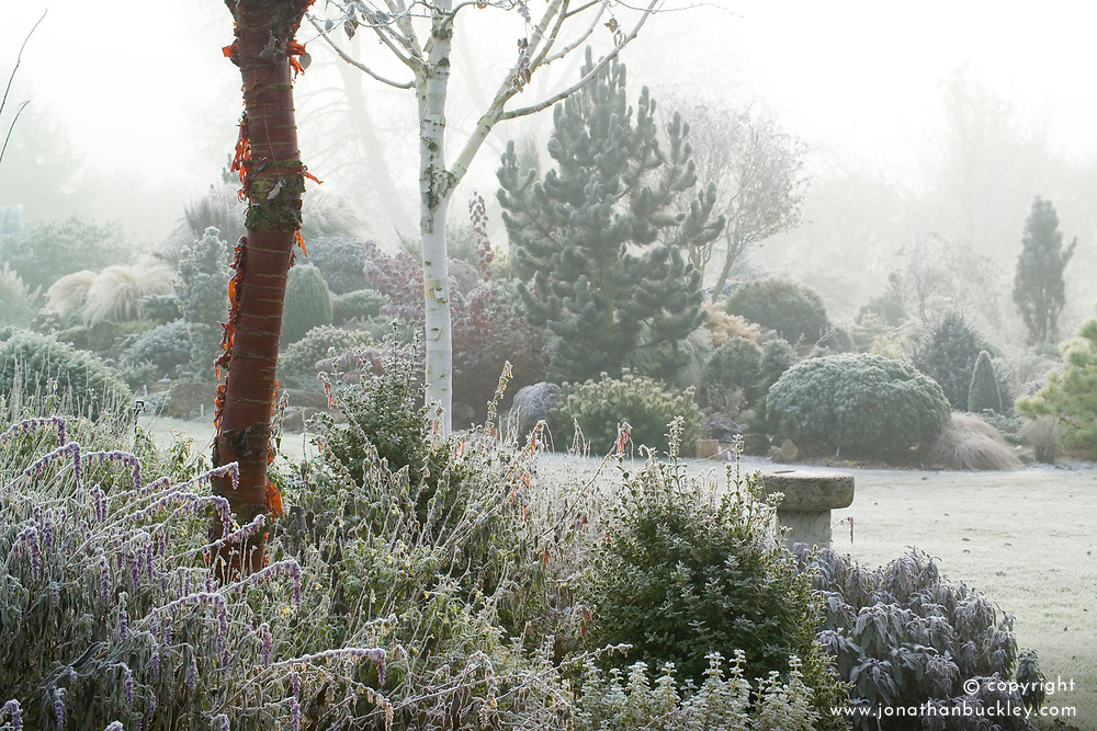 A foggy winter's morning in John Massey's garden with the bark of Prunus serrula (Cherry) and Betula utilis var. jacquemontii (Silver birch) in the foreground. Conifers on rock garden beyond