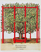 hand painted Opuntia ficus-indica (prickly pear or Indian fig) from Hortus Eystettensis, a codex produced by Basilius Besler in 1613 of the garden of the bishop of Eichstätt in Bavaria.