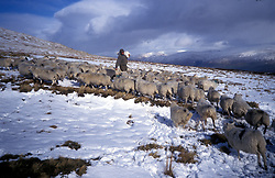 Farmer feeding his sheep on snow covered mountain pasture; Central Scotland