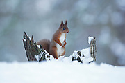 Red Squirrel (Sciurus vulgaris) standing alert on snow covered tree stump; in the Cairngorms National Park,S cotland