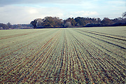 Green shoots of young cereal crop emerge from the soil in a field, Shottisham, Suffolk, England