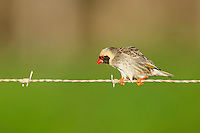 A male Red-billed Quelia perches on a farm fence, Overberg, Western Cape, South Africa