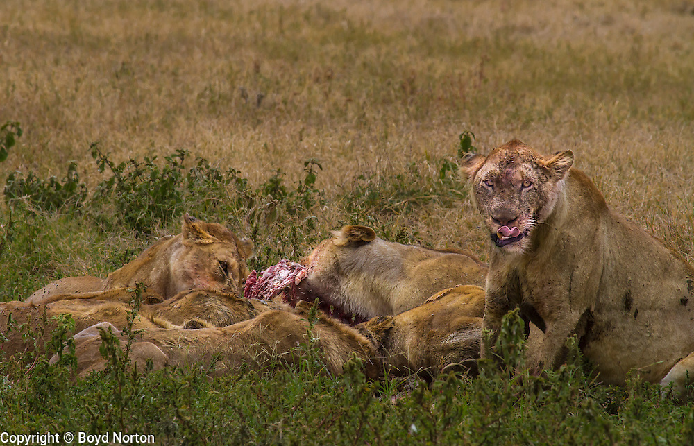Lion pride on a kill
