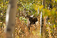 A Bull Moose feeds in the tall undergrowth within a grove of Aspen trees.