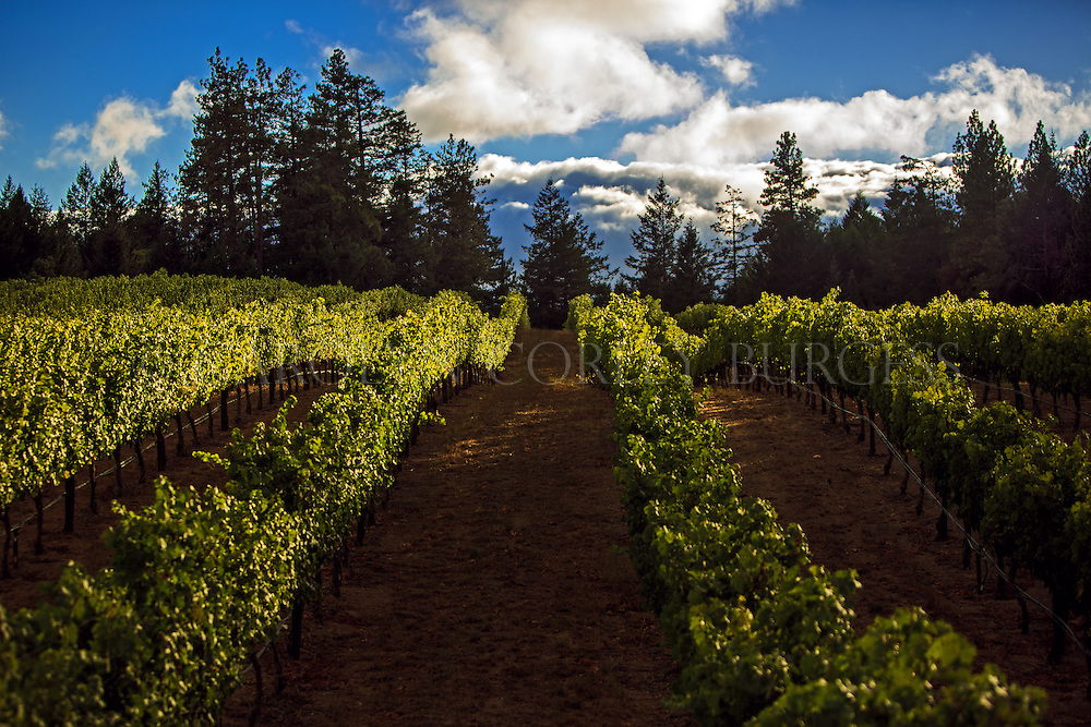 Storm clouds above a Howell Mountain vineyard during harvest.