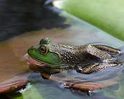 Image of a bullfrog