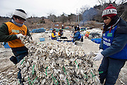 "Volunteers from NGO Peace Boat help fisherman Hisashi Abe restore his aquaculture business by preparing oyster shell ""cages"" in Samenoura, Ishinomaki, Miyagi Prefecture, JapanPhotographer: Robert Gilhooly"