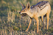 Black-backed Jackal<br /> Canis mesomelas<br /> Eating rat<br /> Masai Mara Triangle, Kenya