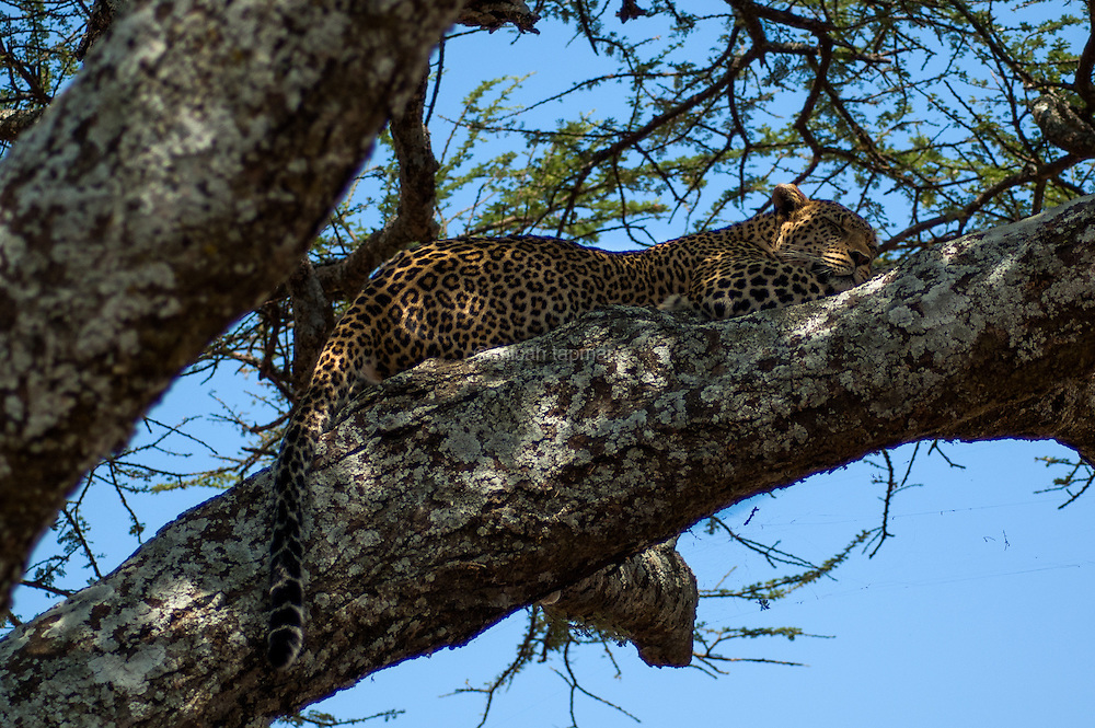 Leopard sleeping through the hot midday sun in Tanzania