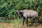 Nilgai or Blue Bull - male (Boselaphus tragocamelus)<br /> Bharatpur National Park or Keoladeo Ghana Sanctuary. Rajasthan. INDIA<br /> RANGE &amp; HABITAT: Forest, scub and near cultivation in India from the Himalayan foothills to Karnataka in the south. SW Nepal and Pakistan.<br /> These antelope are large with a shoulder height of 120-150cm. The males are metallic blue-grey and the females and young are tawny. They are shy animals active day or night. The males are solitary or form all male herds. Females and young form herds of 4 - 10 animals. They feed on grass, fruit, flowers, leaves and crops. They are abundant and the Hindus regard the Nilgai as sacred, as it is considered to be related to domestic cattle.