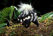 A wild western spotted skunk (Spilogale gracilis) photographed at night in the Willamette National Forest, Oregon.