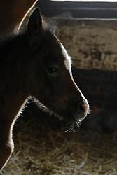 QR Marc<br /> Jadem Arabians - Balen 2008<br /> Photo © Hippo Foto