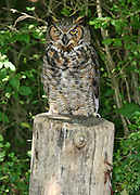 A Great Horned Owl resting on the stump of an old telephone pole near some woods.