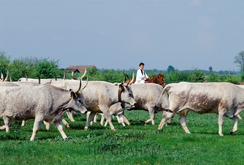 Hungarian Csikos cowboy rounding up cattle on The Great Plain of Hungary  at Bugac, Hungary