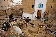 "A woman tends to her goats before milking them in the town of Shibam, Hadhramawt, Yemen. Shibam is a World Heritage Site. The old walled city with it's talk mud brick buildings has been called 'the Manhattan of the desert""."