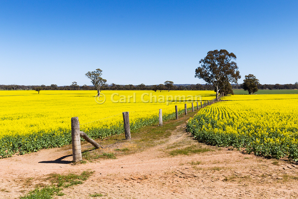 wire fence running through the middle of a canola field near St Arnaud, Victoria, Australia