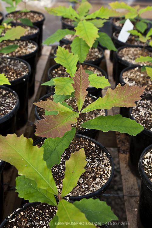 Bur Oak seedlings in pots in a nursery (Quercus macrocarpa)