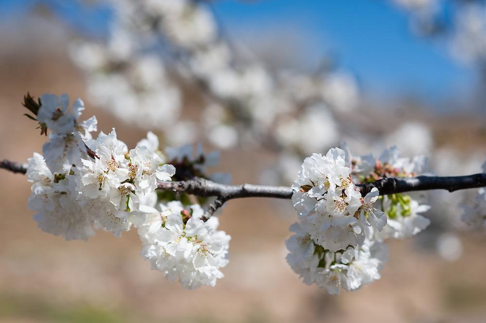 Cherry tree in full blossom in Valle del Jerte (Spain)