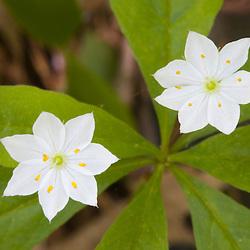 Star flowers at the Greenbelt Associations Bald Hill East reservation in Massachusetts USA