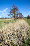 Reeds and alder tree grow in drainage ditch in wet marshy land