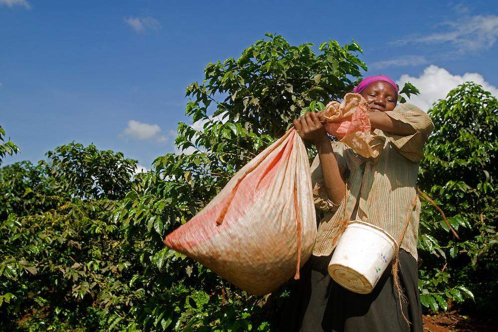 Africa, Kenya, Ruira, (MR) Woman carries bag of  Arabica coffee beans over her shoulder during harvest at Socfinaf's Oakland Estates plantation