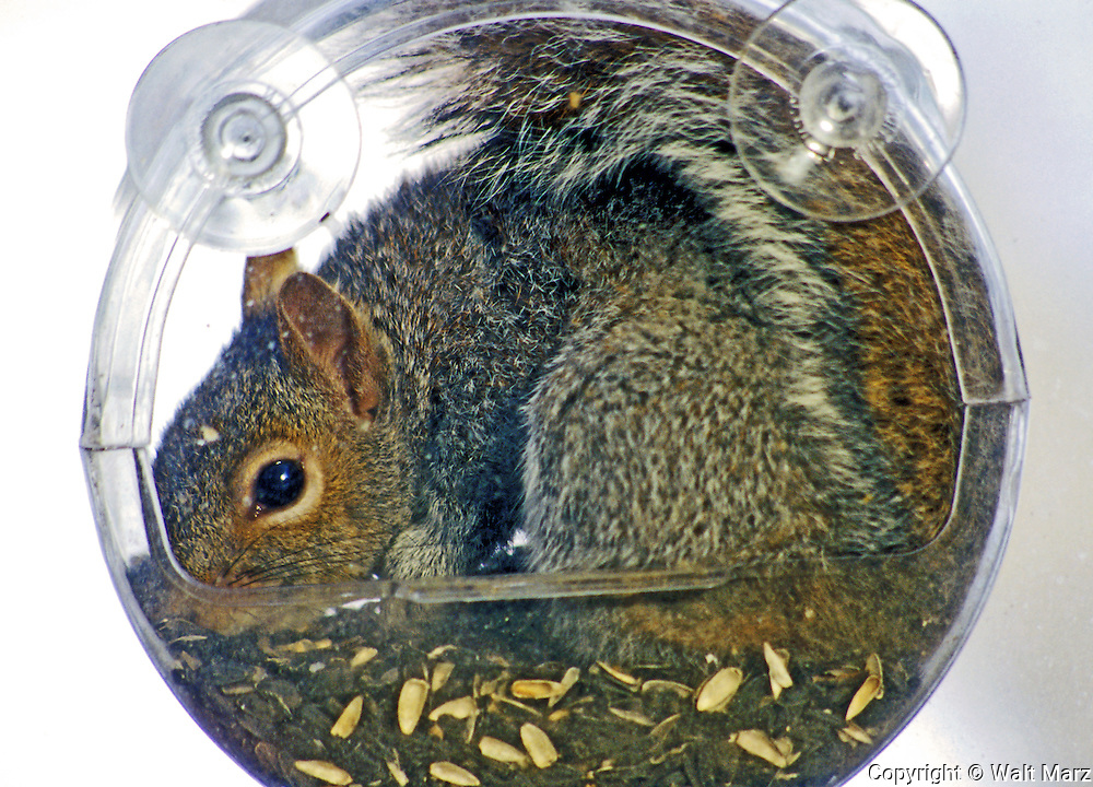"""How much is that squirrel in the window?""  Grey Squirrrel crawl into the window birdfeeder"