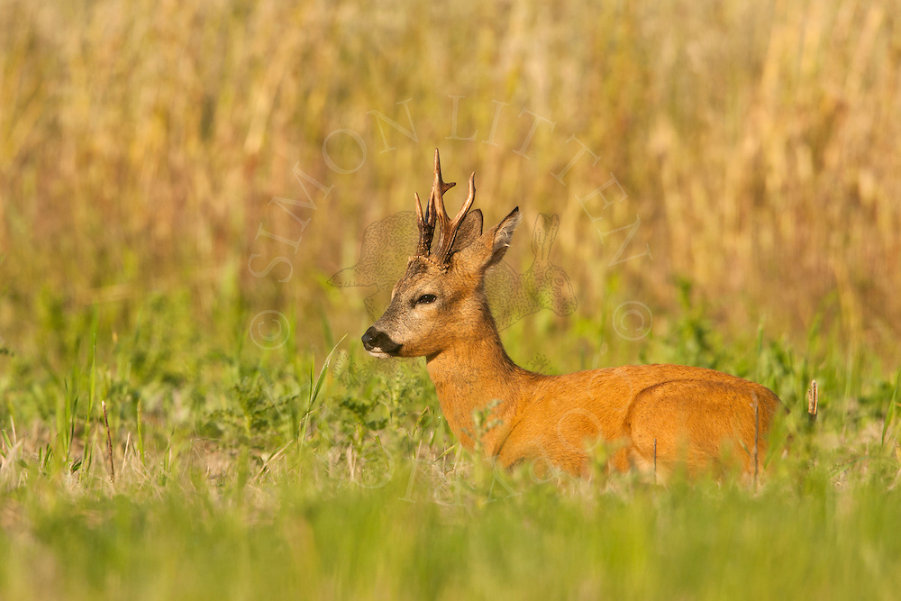 Roe Deer (Capreolus capreolus) buck sitting in set-aside field, Norfolk, UK.