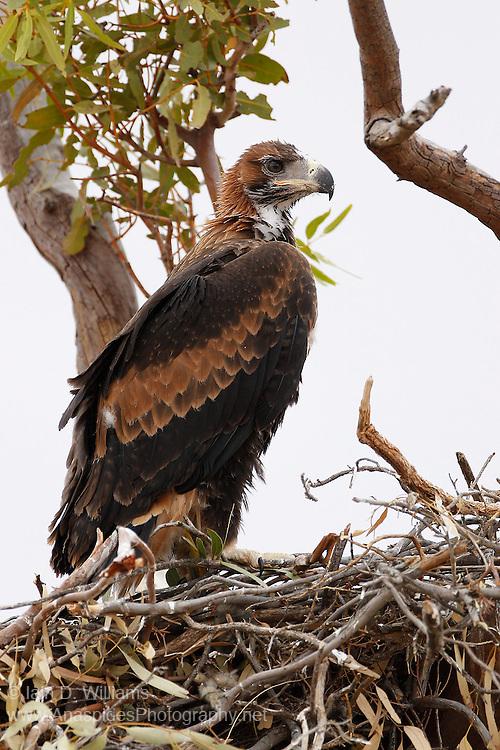 Wedge-tailed Eagle (Aquila audax) - South Australia