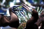 El alcatraz pardo, boba marrón o piquero Pardo es una especie de ave de la familia de los alcatraces claramente identificable por su plumaje marrón en las partes superiores en contraste con el blanco de su vientre y pecho.©Alejandro Balaguer/ Fundacion Albatros Media
