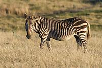 Cape Mountain Zebra grazing in grassland, Gondwana Game Reserve, Western Province, South Africa