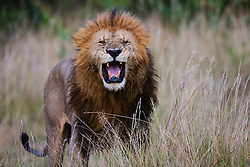 A dominant male lion (Panthera leo) exhibiting the flehman behavior, Masai Mara, Kenya