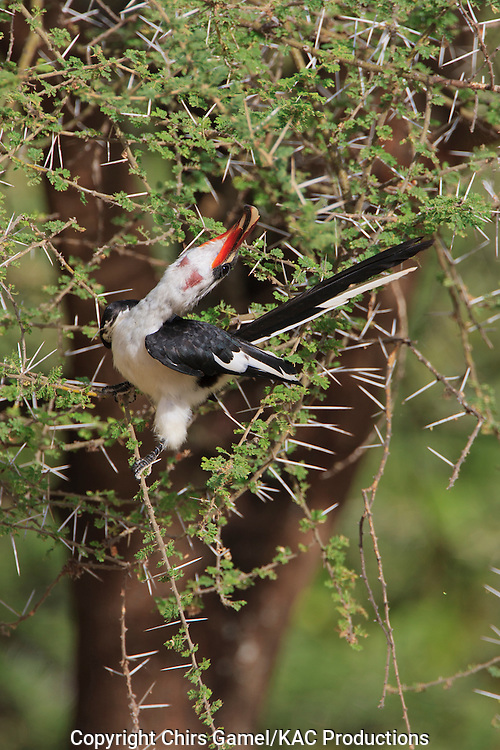 Male Von Der Decken's Hornbill (Tockus deckeni) perched in an acacia tree with thorns, Tarangire National Park, Tanzania, Africa; secondary cavity nester; sexual dimorphism; dry season