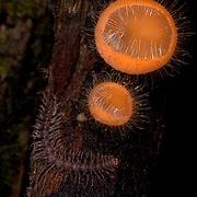Cup fungi or Cup mushroom  (Cookeina tricholoma) and a forest centipede  in Khao Yai National Park, Thailand.
