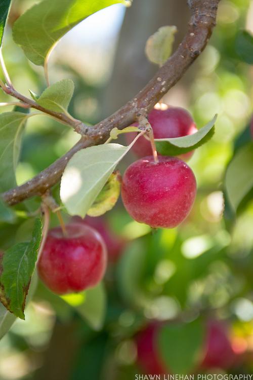 wicksum cider apple