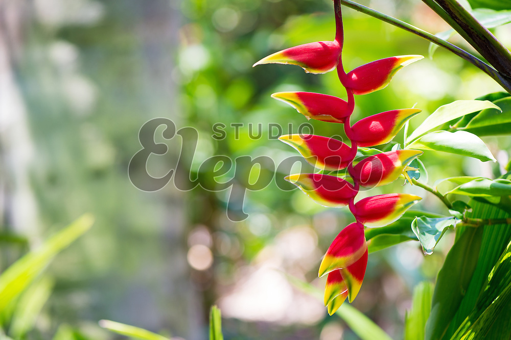 Hanging lobster claw (Heliconia rostrata). Photographed in Honolulu, Hawaii.